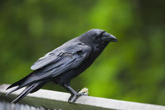 Raven on fence Stock Photo