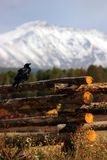 Raven on fence with mountains in background. A raven on a log fence with berthoud pass in the background at beginning of winter Royalty Free Stock Photography