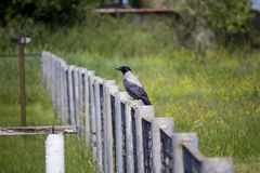 Raven on the fence. wary raven.  Spring. royalty free stock image