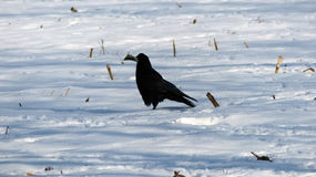 Raven. On the field of snow Royalty Free Stock Photo