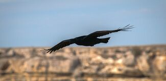 Raven flies over their possessions