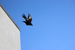 Raven in flight. Raven takes flight from the corner of a building Stock Photo