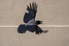 Raven in flight. The crow spread its wings in flight and opened its beak Stock Images