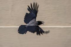 Raven in flight Stock Images
