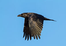 Raven in Flight Royalty Free Stock Photo