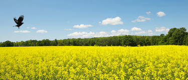 Raven in flight over canola field. royalty free stock photo