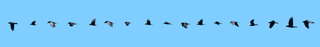 Raven in flight sequence. Royalty Free Stock Images