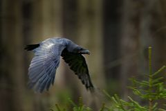 Raven in flight, Sweden. Bird in the green forest habitat. Wildlife scene from nature. Black bird raven in fly, animal behaviour. royalty free stock photography