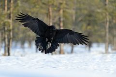 Raven in flight. In winter Stock Images
