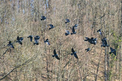 Raven flock Stock Photography