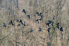 Raven flock Royalty Free Stock Images