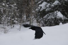 Raven Flyby stock photography