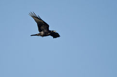 Raven Flying in a Blue Sky Stock Image