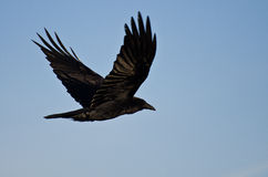 Raven Flying commune dans un ciel bleu Photos libres de droits