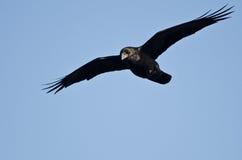 Raven Flying comum em um céu azul fotografia de stock royalty free