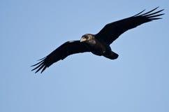 Raven Flying comum em um céu azul imagens de stock royalty free