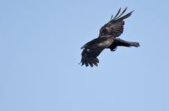 Raven Flying comum em um céu azul foto de stock royalty free