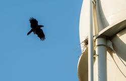 Raven Flying a jerarquizar Foto de archivo libre de regalías