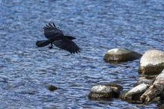 Raven flying over the lake