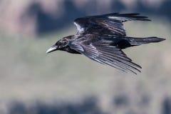 Raven Flying Over preta comum o assoalho da garganta imagens de stock