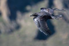 Raven Flying Over preta comum o assoalho da garganta fotografia de stock