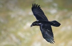 Raven flying Royalty Free Stock Photo