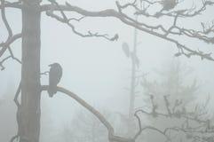 Raven in fog. Common Ravens sitting in deadwoods in foggy weather Stock Image