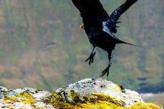 Raven Glencoe stock photos