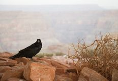Raven at Grand Canyon Royalty Free Stock Image