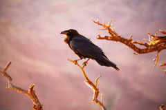 Raven. A raven in the Grand Canyon National Park, Arizona Royalty Free Stock Photography