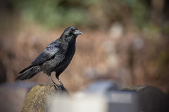 Raven on a gravestone Stock Image