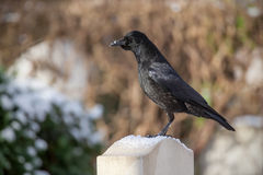 Raven on a gravestone Stock Photography