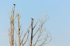 Raven and Gray Heron in a tree Royalty Free Stock Photo