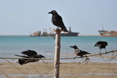 Raven. The Gulf of Aden has economic significance as a waterway to transport oil from the Persian Gulf Stock Image