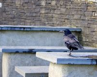 Raven Hanging Out royalty-vrije stock foto