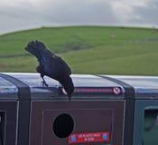 Raven Hanging Out que verifica a reciclagem Fotos de Stock