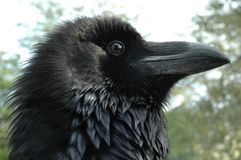 Raven head (Corvus corax). A head of a Raven, which lived in Veszprém Zoo, Hungary royalty free stock image