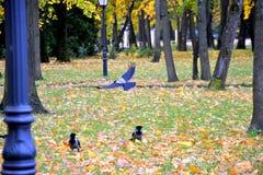 Raven in het de herfstpark Stock Foto's