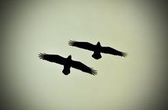 Raven het vliegen Royalty-vrije Stock Afbeeldingen