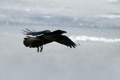 Icelandic raven. The Raven of Iceland and Faeroe Islands is a sub species of the common raven Stock Photos