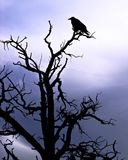 Grand Canyon Raven Indigo silhouette. A silhouette of a raven perching on a tree branch with an violet indigo background, Grand Canyon Royalty Free Stock Photography