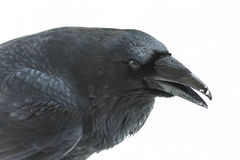Raven Isolated Images stock