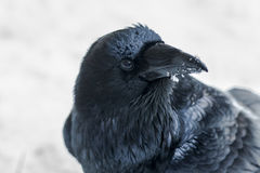 Raven Isolated Head Fotografia Stock