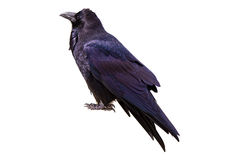 Raven Isolated Royalty Free Stock Photo
