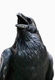 Royal black raven isolated on white background, Tower of London - UK Stock Image