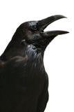 Black raven isolated on white background, Tower of London - UK Stock Photos