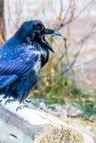 Raven, Jasper National Park, Alberta, Canada photo stock