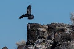 Raven Landing preta comum em Rocky Canyon Ledge foto de stock royalty free