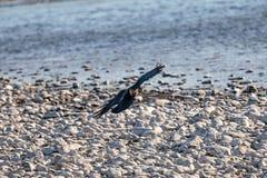 Raven landing on the rocky shore royalty free stock photos