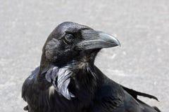 Raven Royalty Free Stock Photo